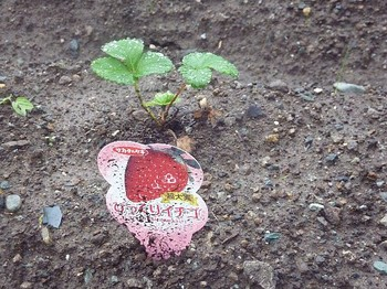 2010.10.30 びっくり苺.jpg