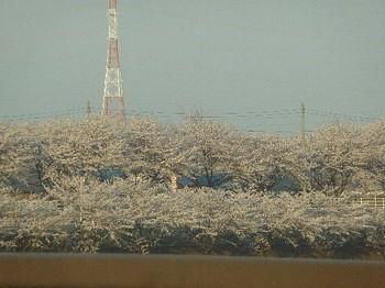 2011.04.14 桜.jpg